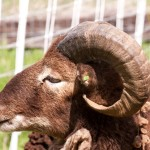 Thick small diameter horn spiral in Soay ram