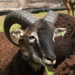Soay ram spiral horn heading towards neck