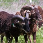 Interlocked Soay ram horns