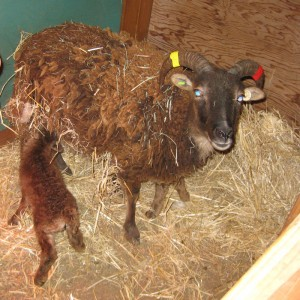 One-day-old Soay lamb enjoying his meal