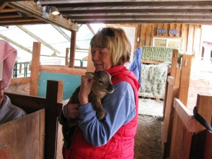 Making friends with a Soay lamb