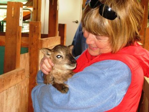 What's not to love about a Soay lamb?