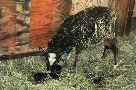 Why raise Soay sheep?  To enjoy lambing, among other things