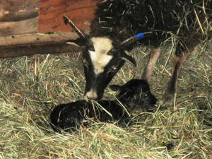 Newborn Soay lamb gets cleaned off