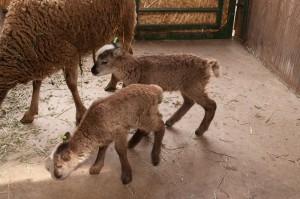 Soay twins exploring with mom