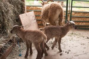Dora's twin ewe lambs age 2 days