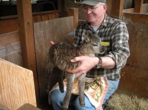 Hulking 7-pound Soay lamb