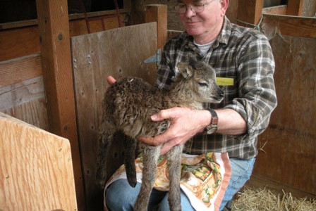 All Soay sheep lambs, great and small