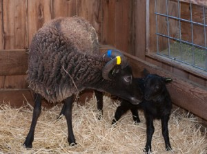 Darby&#039;s black ram lamb age 4 days