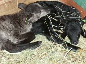 Heywood&#039;s black British Soay lamb age day 1