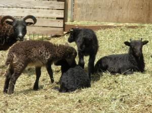 Soay lambs at play and at rest