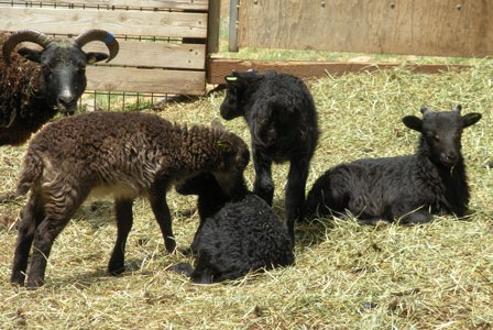 Little black Soay sheep on display in the play yard