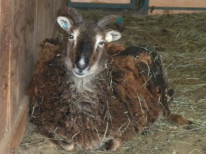Pregnant Soay ewe?