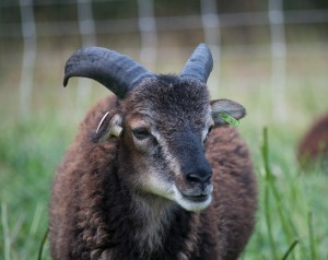 Tiny Tim Leaves His Adoptive Soay Home for Greener Pastures