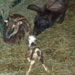 llama investigates skewbald lamb