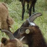 Funzi, white-spotted ewe
