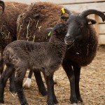 Soay ewes and lambs like to nuzzle