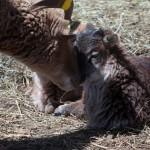 Soay mother checking up on her lamb after play