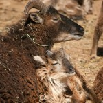 Soay mother and lamb snooze in the sun