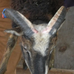 Rams' white horns growing during winter allow blood vessels to show through at growth points