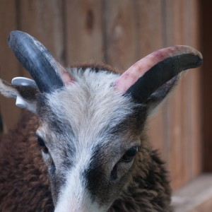 Active blood vessels show right through a sheep's white horn