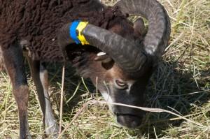 Ratty tape on Soay ram horns