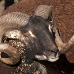 Soay ram with some sort of crack in his horn