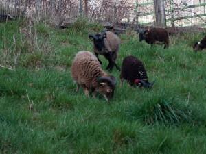 Fun-loving Saltmarsh Sheffield happily back on pasture