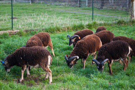 It's March, and the yearling Soay rams love their new spring pastures