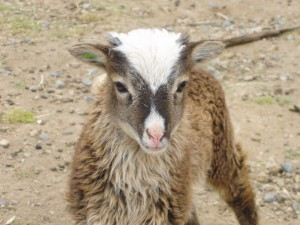 Buttermere at age 3 weeks. Compare her white pattern with her adult picture.