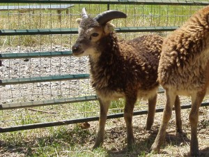 Trenear at 11 weeks and look at those horns grow!