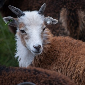 Merrivale at age  2 and 1/2 months was an irresistible white-faced tan lamb