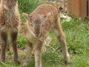 Light phase Fouldon at age 2 weeks in the lamb play yard