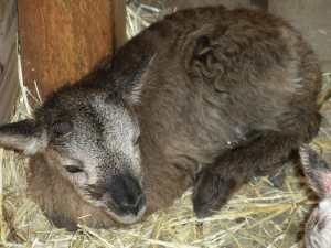 Stockbridge was a typical brown mouflon Soay lamb