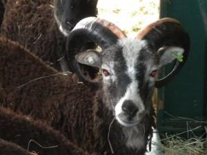 Nympton sires an almost-bummer lamb