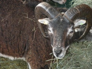 Shown here at age 6 years, Kettlewell matured into a very mild-mannered and stately ram