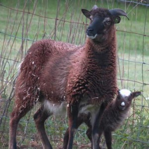 Jasmin and her almost-bummer ewe lamb happily bonded
