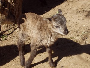 Kettlewell at age 1 week trots around the well-worn lamb play yard