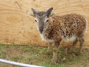 Trenear at age 55 days. It was obvious even then that he would have great horns like his parents, Chestnut and Astoria