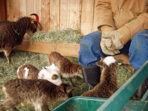 Soay lambs explore shepherd's boots