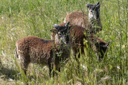 Premature Soay lamb survives … and thrives