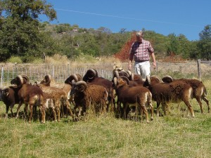 mingling with Soay rams