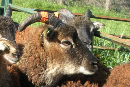 Why breed heritage sheep? To share the joys of raising them
