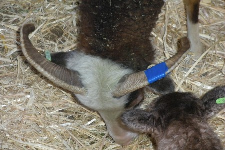 Soay lamb gender split, 2015 edition