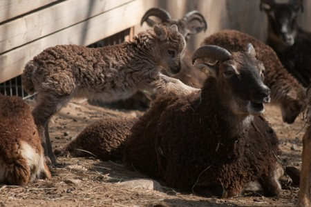 HALF PRICE SALE ON SOAY SHEEP