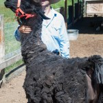 Hank's greatest admirer, Shawn, after he expertly hand-sheared big Hank