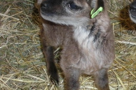 One more word about lamb tags for Soay sheep