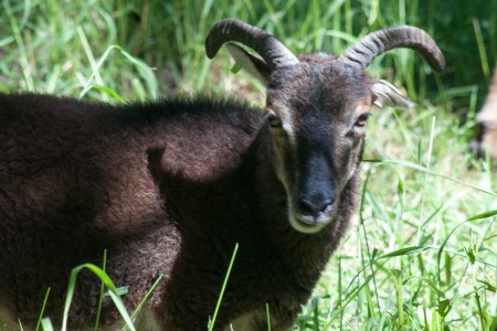 Yearling and adult British Soay ewes for sale