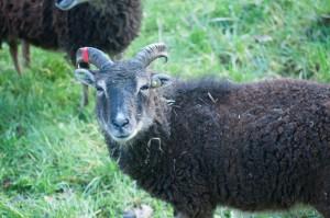 2010 British Soay ewe Saltmarsh Debenham