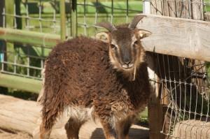 2014 British Soay ewe Saltmarsh Kirkely